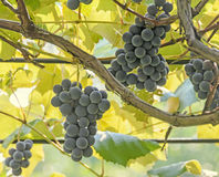 Dark red, purple grapes fruit hang, Vitis vinifera (grape vine) green leaves in the sun, close up Royalty Free Stock Photos