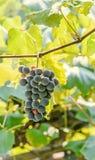 Dark red, purple grapes fruit hang, Vitis vinifera (grape vine) green leaves in the sun, close up Stock Image