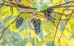Dark red, purple grapes fruit hang, Vitis vinifera (grape vine) green leaves in the sun, close up Stock Photography