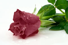Dark red rose Stock Image