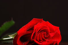 Dark red rose Royalty Free Stock Image