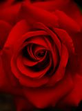 Dark red rose Stock Photography