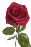 Dark red rose Royalty Free Stock Photos