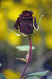 Dark Red Rose Bud Stock Photo