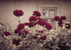 Dark red rose bush with vintage window in the background Royalty Free Stock Photography