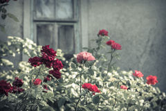 Dark red rose bushes with broken window Royalty Free Stock Images
