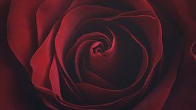 Dark red rose close up shot. Shallow focus Stock Images