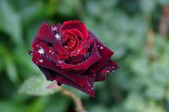 Dark red rose with dew drops. Fresh bud of a flower in the summer garden Stock Photos