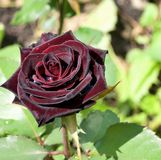 Dark red rose with dew drops Royalty Free Stock Photography