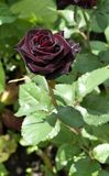 Dark red rose with dew drops Royalty Free Stock Photo