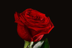 The dark red rose with drops Stock Photography