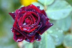 A dark red rose with drops of water on a stalk with green leaves Royalty Free Stock Photography
