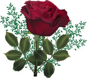 Dark red rose flower in green plants Royalty Free Stock Photos