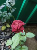 Dark Red Rose. Flower in green small garden Royalty Free Stock Photography
