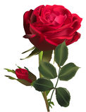 Dark red rose flower and one bud isolated on white Royalty Free Stock Photography
