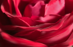 Dark red rose flower petals background Stock Image