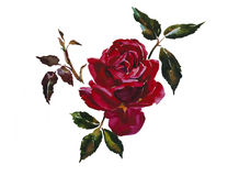 Dark red rose head with leaves branch original watercolor illust Royalty Free Stock Photography