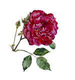 Dark red rose head with leaves and bud branch original watercolor Royalty Free Stock Image