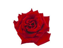 Dark red rose isolated Stock Images