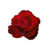 Dark red rose Royalty Free Stock Photo