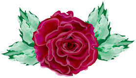 Dark red rose in light green leaves Royalty Free Stock Photos