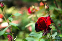 Dark red rose. One dark red rose in the garden Royalty Free Stock Photography