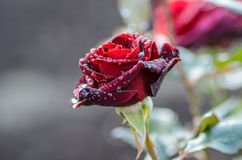 Dark red rose with rain drops. Bud dark red rose with drops after rain Stock Photo