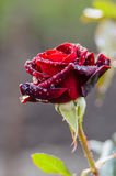 Dark red rose with rain drops. Bud dark red rose with drops after rain Royalty Free Stock Photos