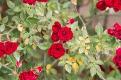 Dark red rose rose Stock Images