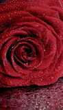 Dark red rose with water droplets. Royalty Free Stock Photography