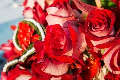 Dark red rose with water droplets Royalty Free Stock Images