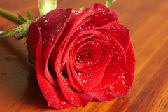 Dark red rose with water drops Stock Images