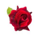 Dark red rose Royalty Free Stock Images