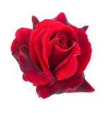 Dark red rose on a white background. Dark red rose are on a white background close-up Stock Photo