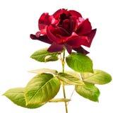 Dark red rose Royalty Free Stock Image