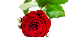 Dark red rose on white background.  Post card background Royalty Free Stock Photos