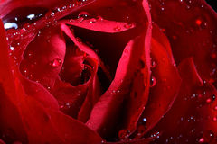 Dark Red Rose With Water Droplets. Stock Image