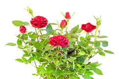 Dark red roses flower bush with buds, green leaves, close up Royalty Free Stock Photos