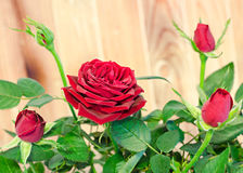 Dark red roses flower bush with buds, green leaves, close up Stock Image