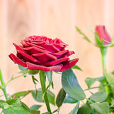 Dark red roses flower bush with buds, green leaves, close up Stock Photo