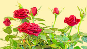 Dark red roses flower bush with buds, green leaves, close up Royalty Free Stock Photography