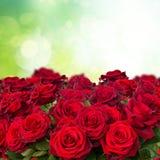 Dark  red roses  in garden Stock Image