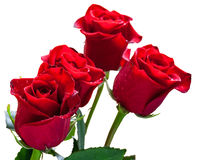 Dark red roses Stock Images