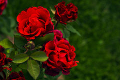 Dark red scarlet roses flowers in garden. Shrub roses with corrugated petals Royalty Free Stock Photography