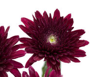 Dark red spray chrysanthemums Royalty Free Stock Image
