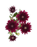 Dark red spray chrysanthemums Stock Image