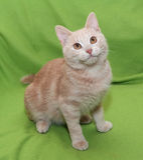 Dark-red striped kitten with orange eyes sitting Royalty Free Stock Photography