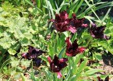 Dark Red Tulips Royalty Free Stock Photo
