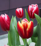 Dark red tulips. Four stalks of tulips Royalty Free Stock Photography