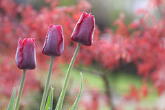 Dark red tulips in the garden. Three dark red tulips in the garden with some dew Stock Images